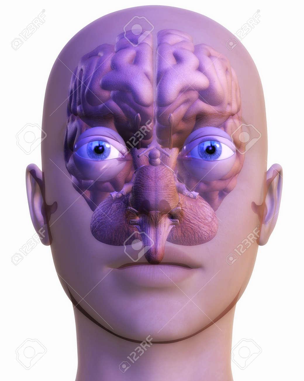 Digital Illustration of a human Brain Stock Photo - 24135394
