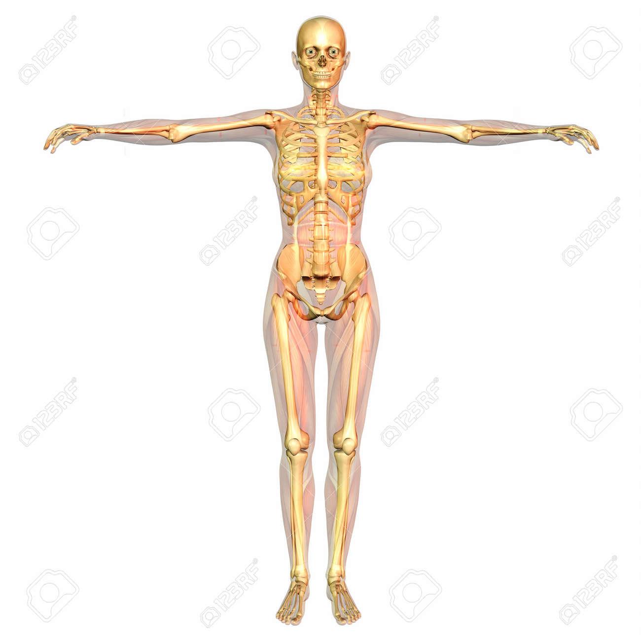 Digitale Visualisierung Der Menschlichen Anatomie Lizenzfreie Fotos ...