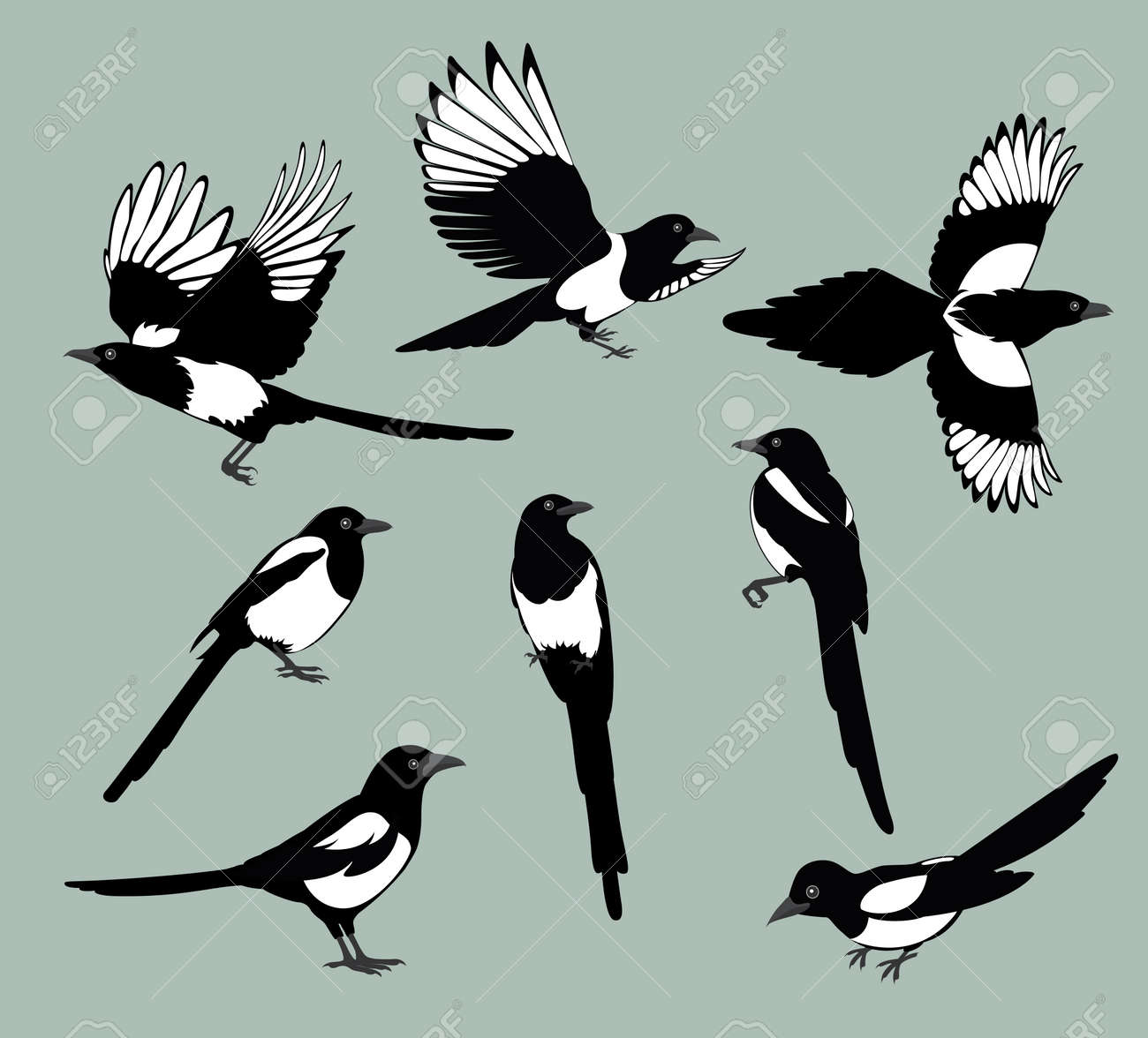 Conjunto De Siluetas Negras Vector Aislado De Urraca De Aves Poses