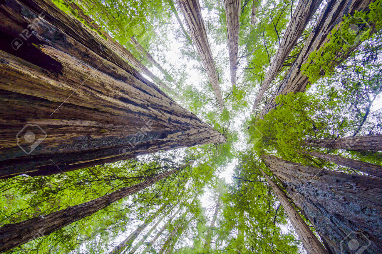 Beautiful nature - the Redwood Forest - red cedar trees - CALIFORNIA - 79445905