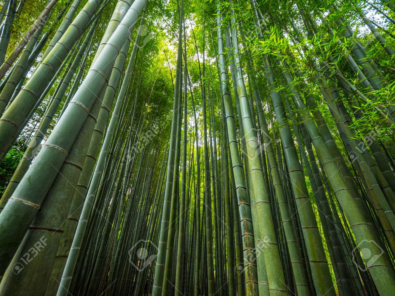 The Tall Bamboo Trees Of Kamakura A Wonderful Place Stock Photo