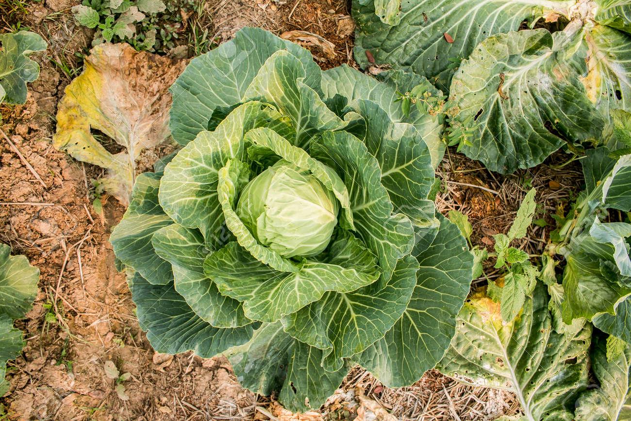 fresh green cabbage in the garden, organic vegetables in backyard