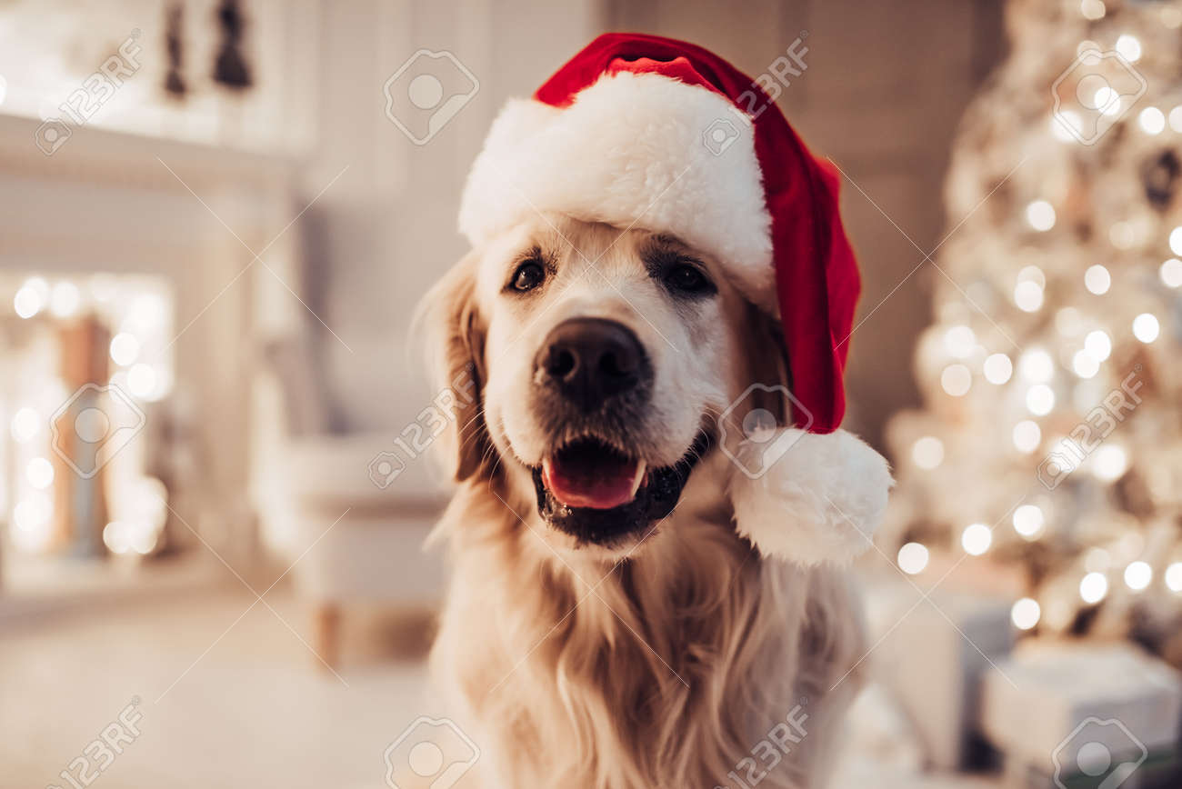 Merry Christmas And Happy New Year Cheerful Dog Labrador Is Stock