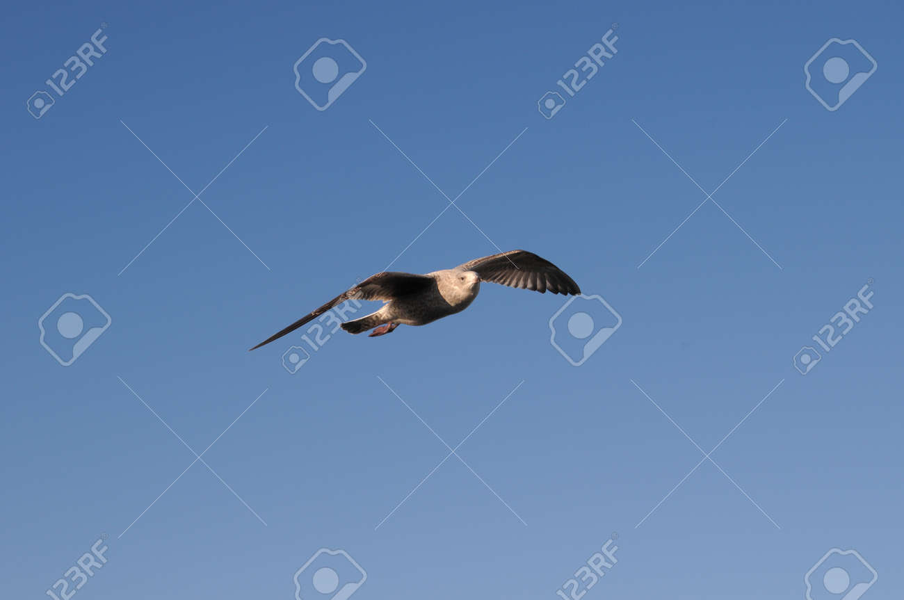 Seagull gliding against a clear blue sky Stock Photo - 15414463