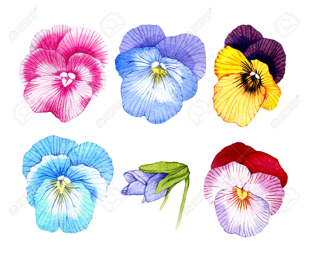 Hand Drawn Watercolor Pansy Flower Set Stock Photo Picture And Royalty Free Image Image 97630715