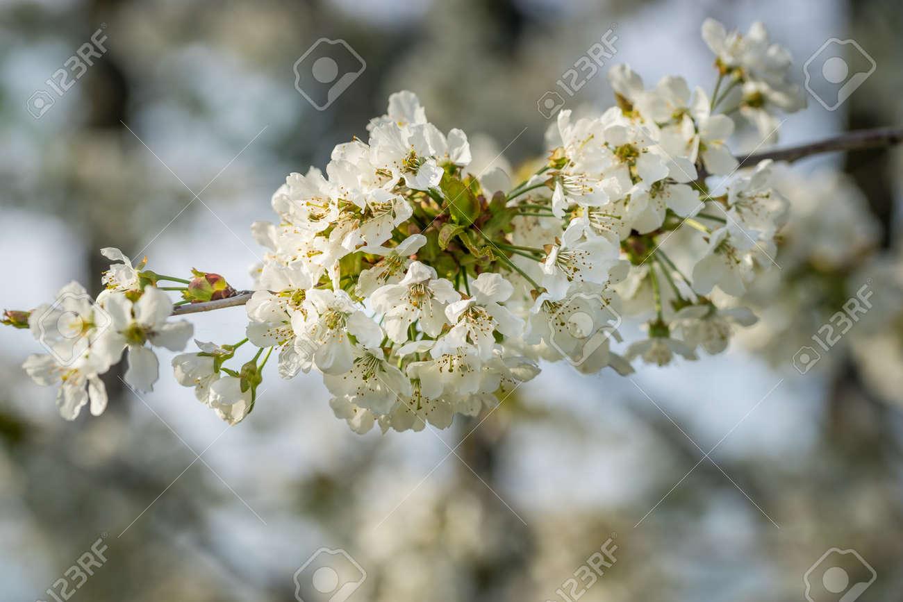Albero Con Fiori Bianchi fioritura di ciliegio, albero in fiore con fiori bianchi, fioriture  primaverili