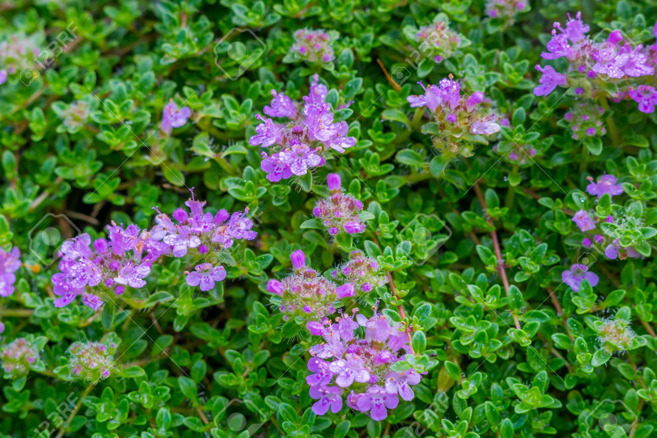 Beautiful Background Of Pretty Purple Flowers And Lush Green