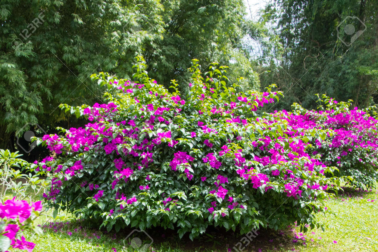 Bougainvillea Stock Photo, Picture And Royalty Free Image. Image ...