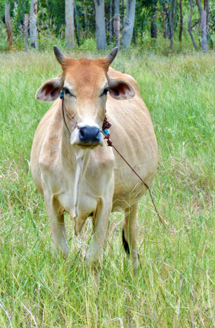 beef cow in grassland,native cow in thailand Stock Photo - 14889245