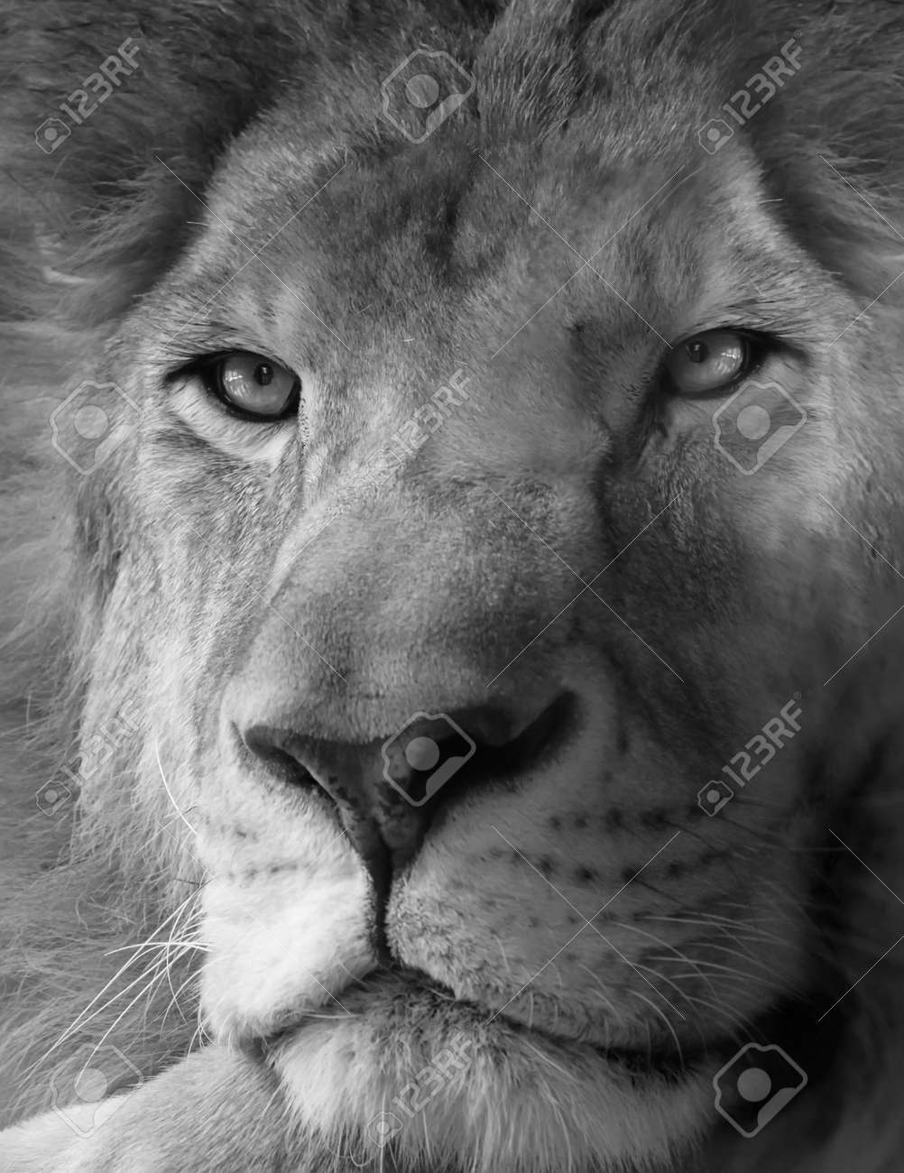 Black and white photo of lion Stock Photo - 15736094