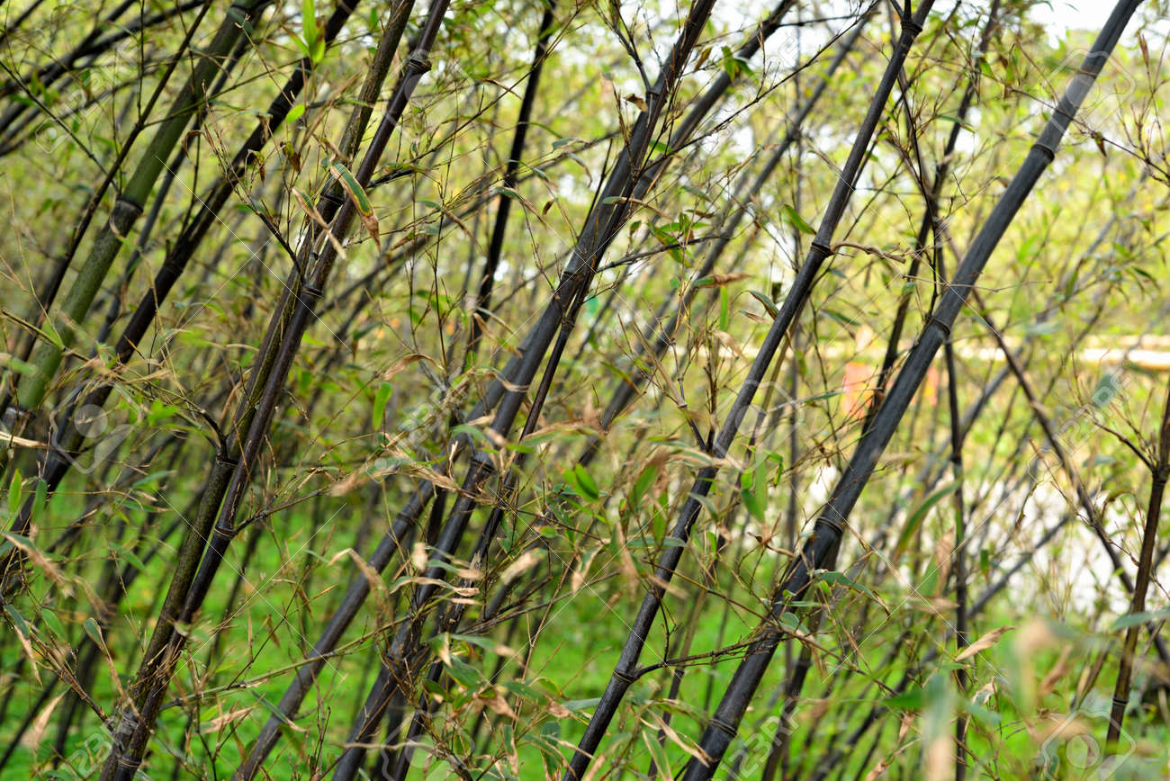 Purple Bamboo Forest Stock Photo Picture And Royalty Free Image