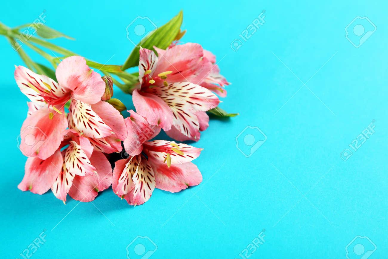 Beautiful alstroemeria flowers on a blue background stock photo beautiful alstroemeria flowers on a blue background stock photo 61271103 izmirmasajfo