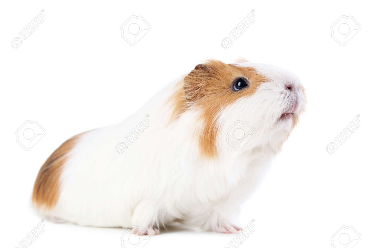 Guinea pig isolated on white background - 99415180