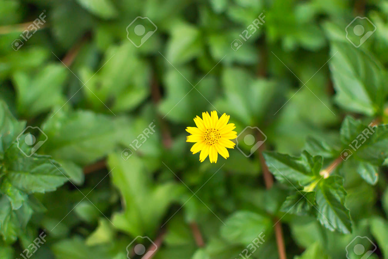 Ground Cover Species With Small Yellow Flowers Stock Photo Picture