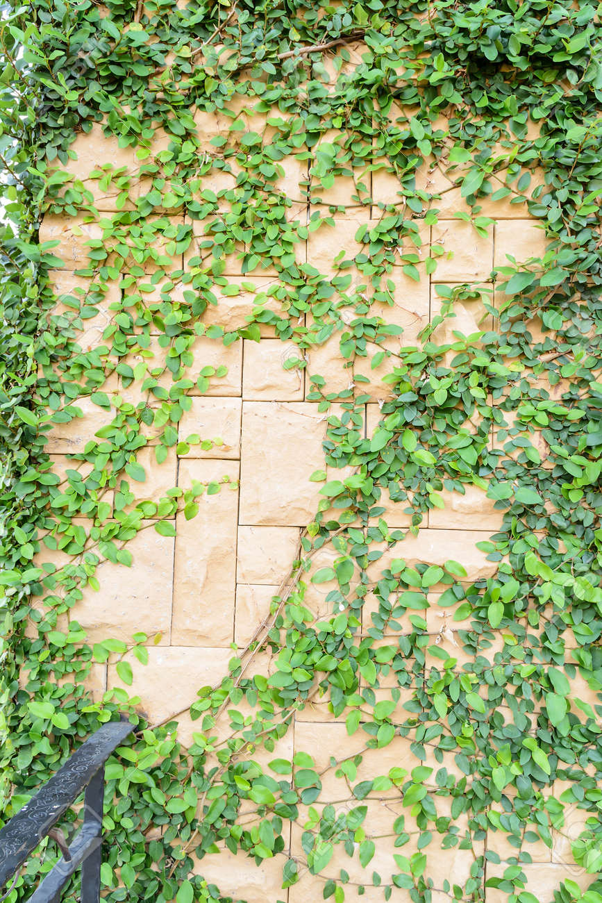 Old Brick Wall And Ivy Texture Stock Photo, Picture And Royalty Free ...