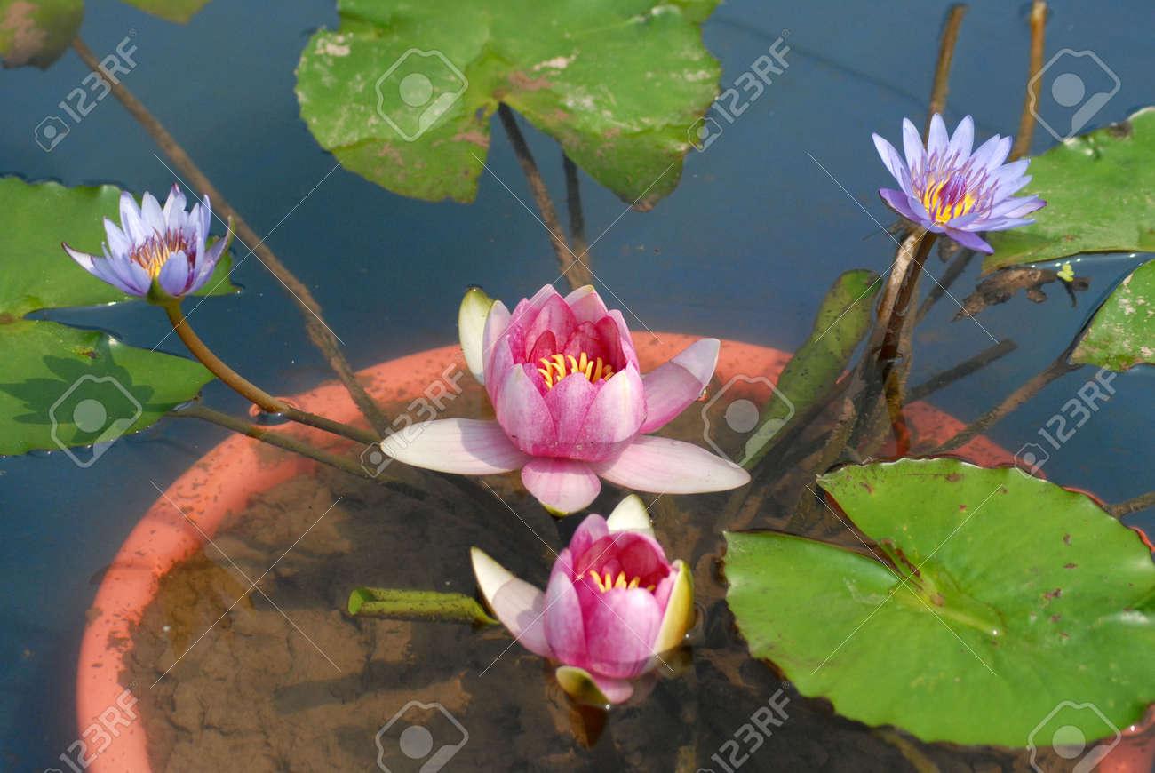 Chongqing Yubei District Lotus Flower Garden Stock Photo Picture