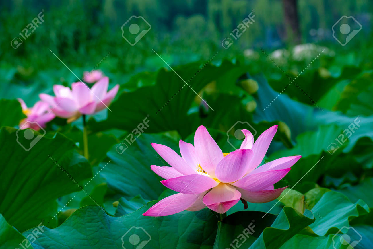 Two Lotus Flowers Blooming In The Pond Stock Photo Picture And