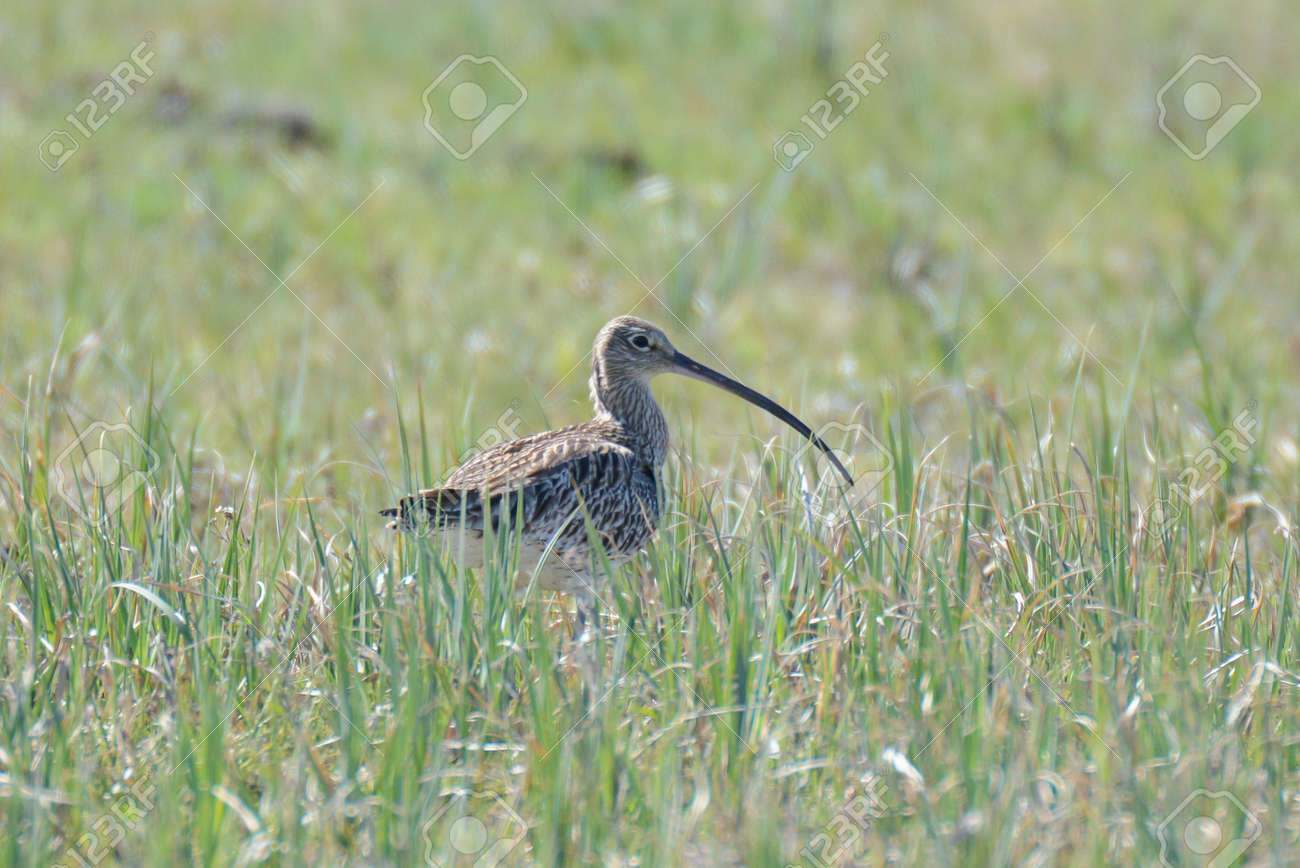 Central europ Curlews return from their winter quarters on coastal