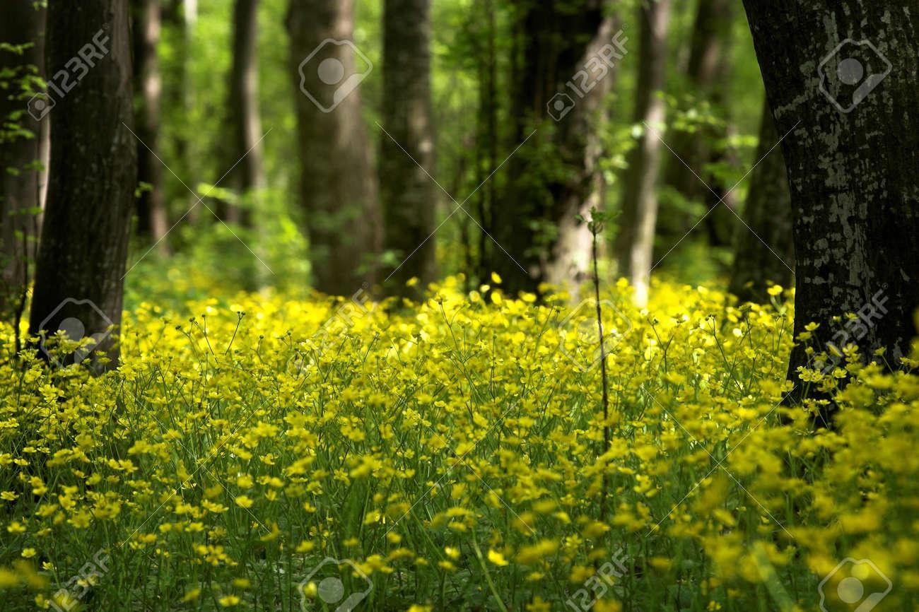 Fiori Primaverili Gialli.Immagini Stock Selvatici Gialli Fiori Primaverili Nella Foresta
