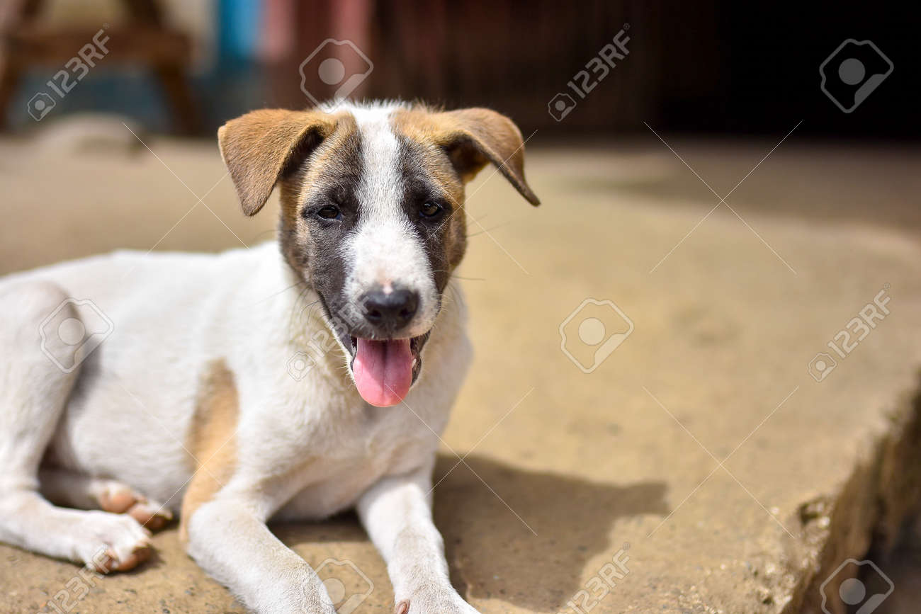 Stock Photo - Young cute puppy dog with tongue out sat on concrete pathway to door outside on a sunny day. & Young Cute Puppy Dog With Tongue Out Sat On Concrete Pathway.. Stock ...