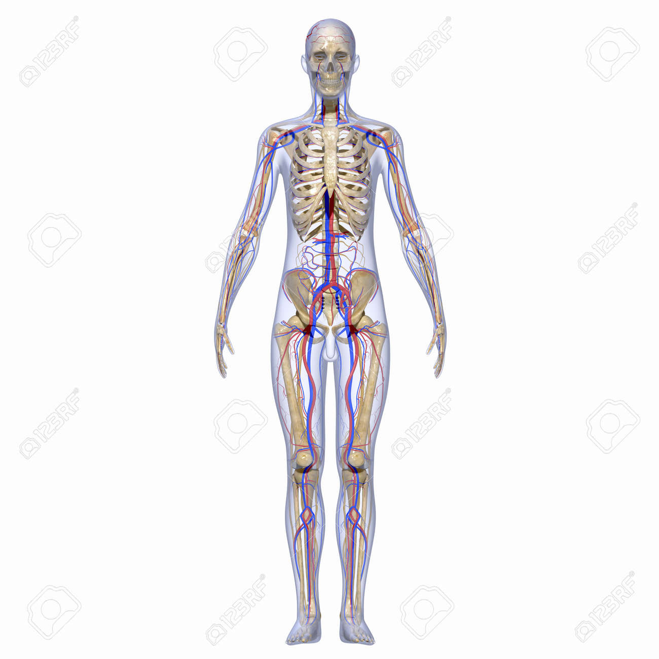 Human Anatomy Stock Photo Picture And Royalty Free Image Image