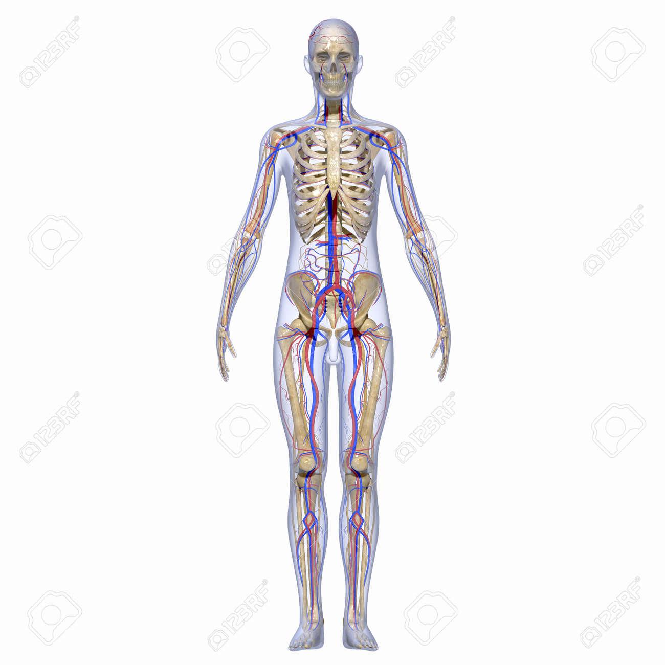 Moderno Tarjetas De Memoria Flash Anatomía Muscular Adorno ...