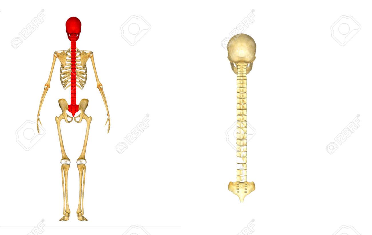 Berühmt Zurück Knochenanatomie Fotos - Menschliche Anatomie Bilder ...