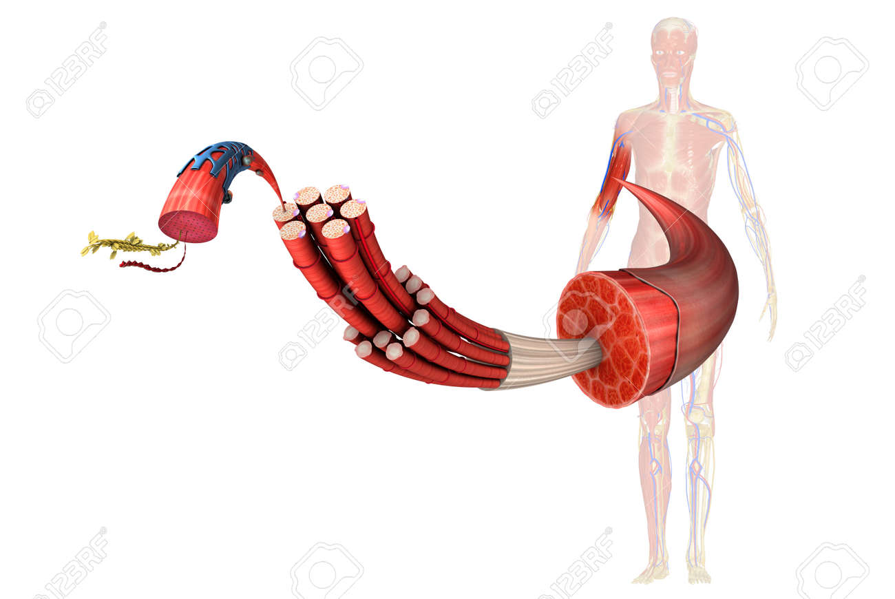 Muscle Stock Photo - 33388622