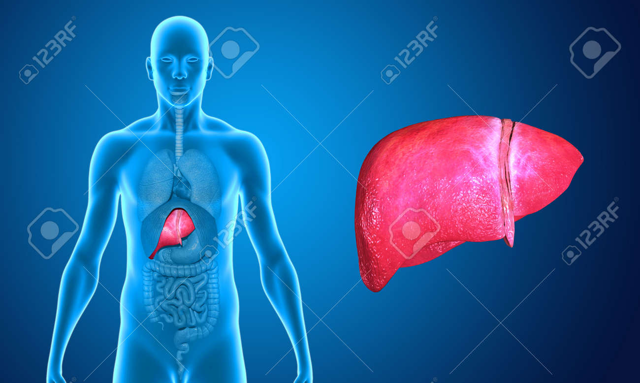 Wide liver Stock Photo - 33388625