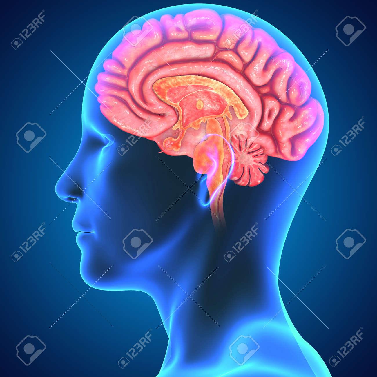 Brain Stock Photo - 33781546