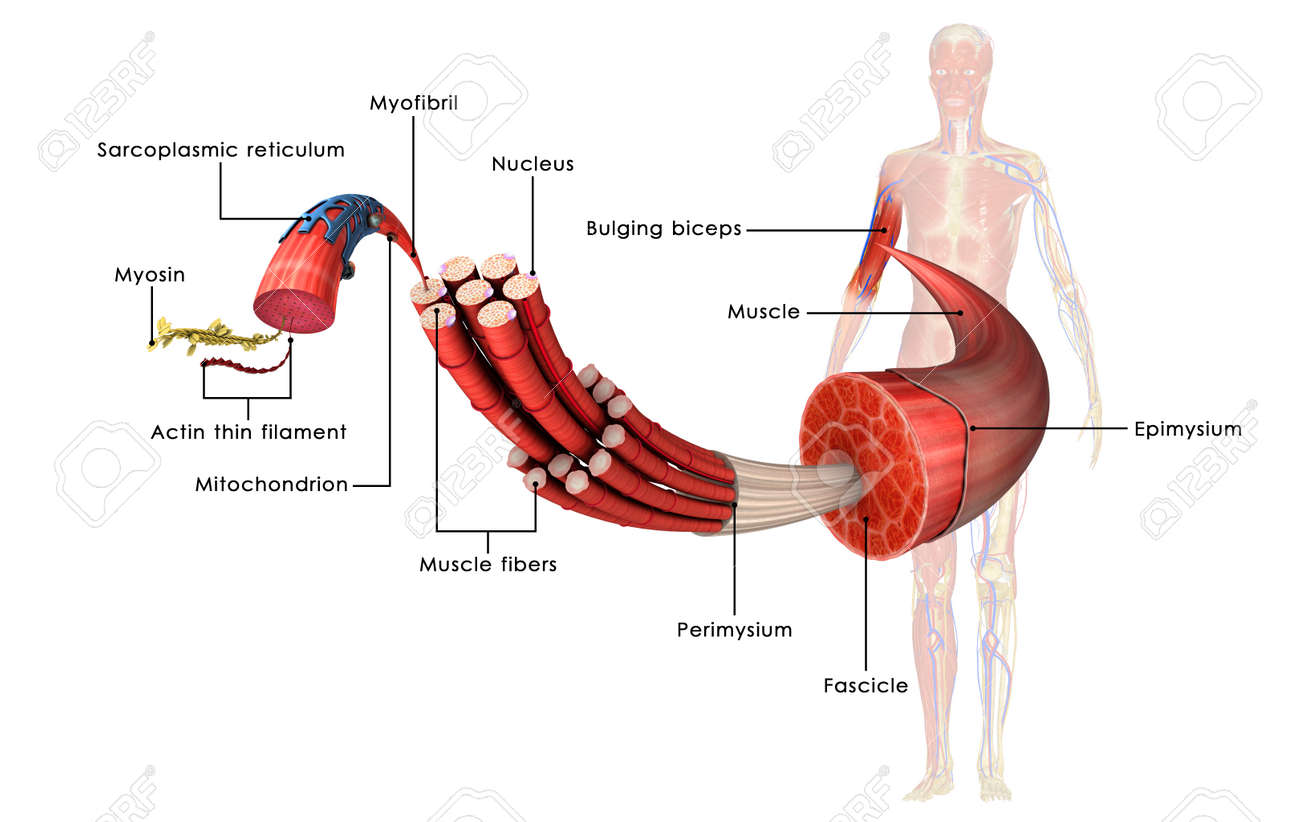 Muscle Tissue Stock Photo, Picture And Royalty Free Image. Image ...