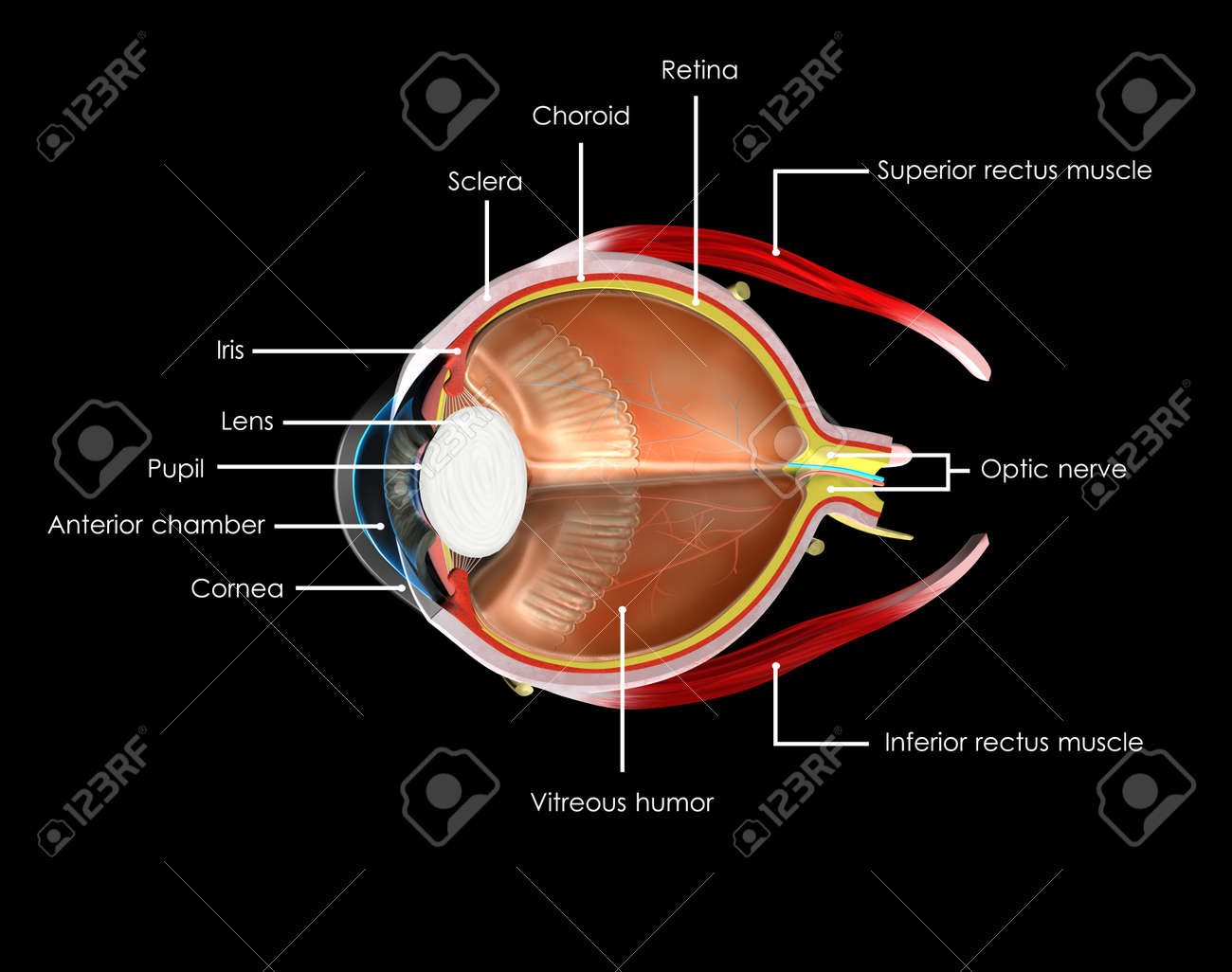 Human Eye Anatomy Labelled Stock Photo Picture And Royalty Free