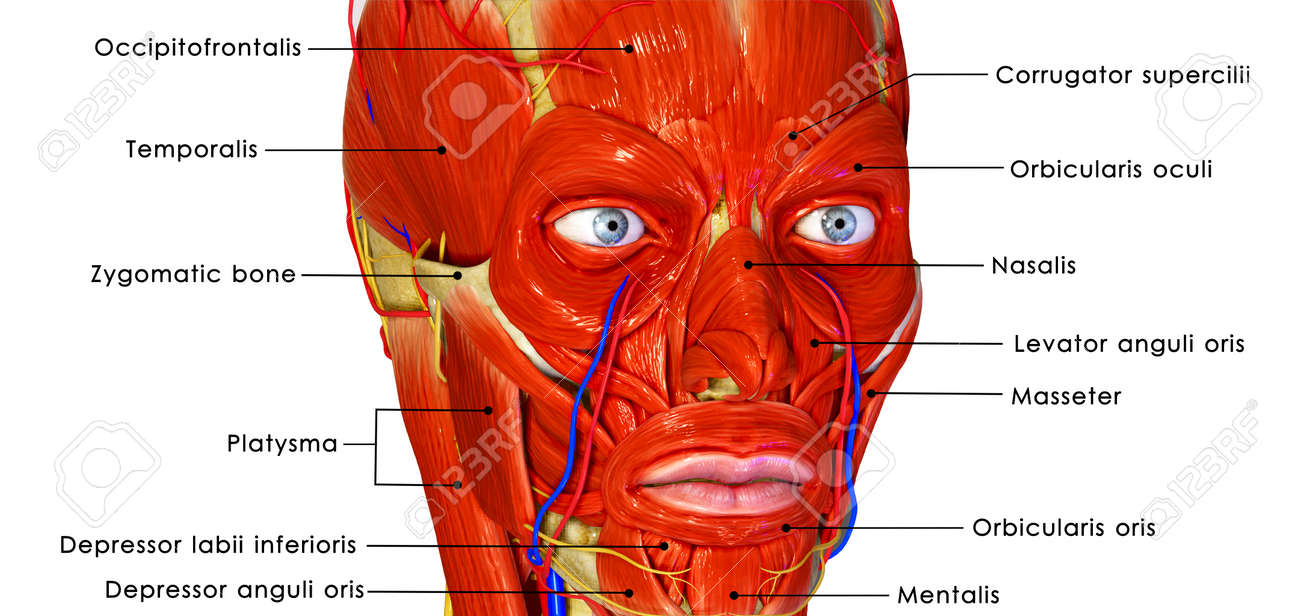 Facial muscles labelled Stock Photo - 33834854