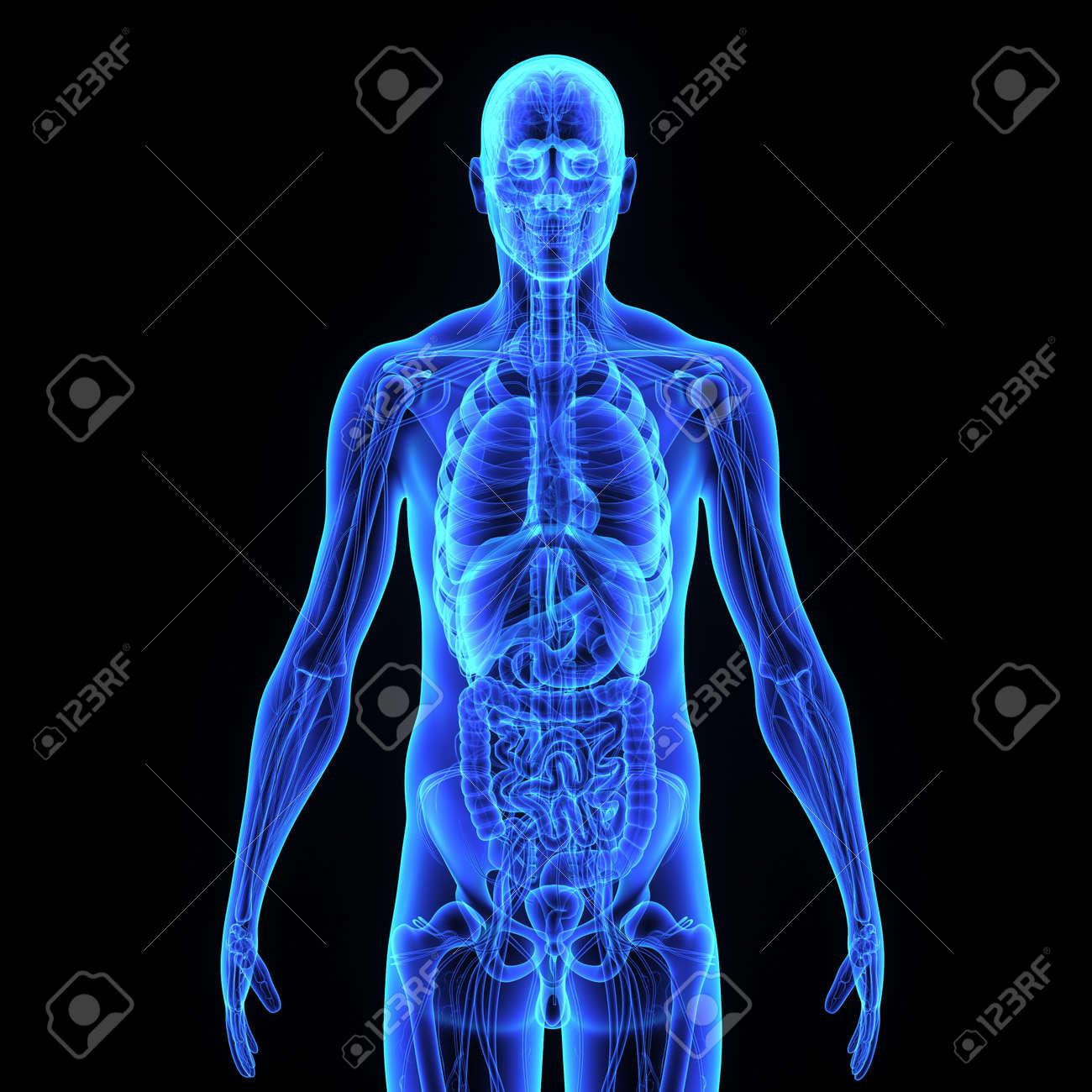 Human Anatomy Stock Photo - 33430566