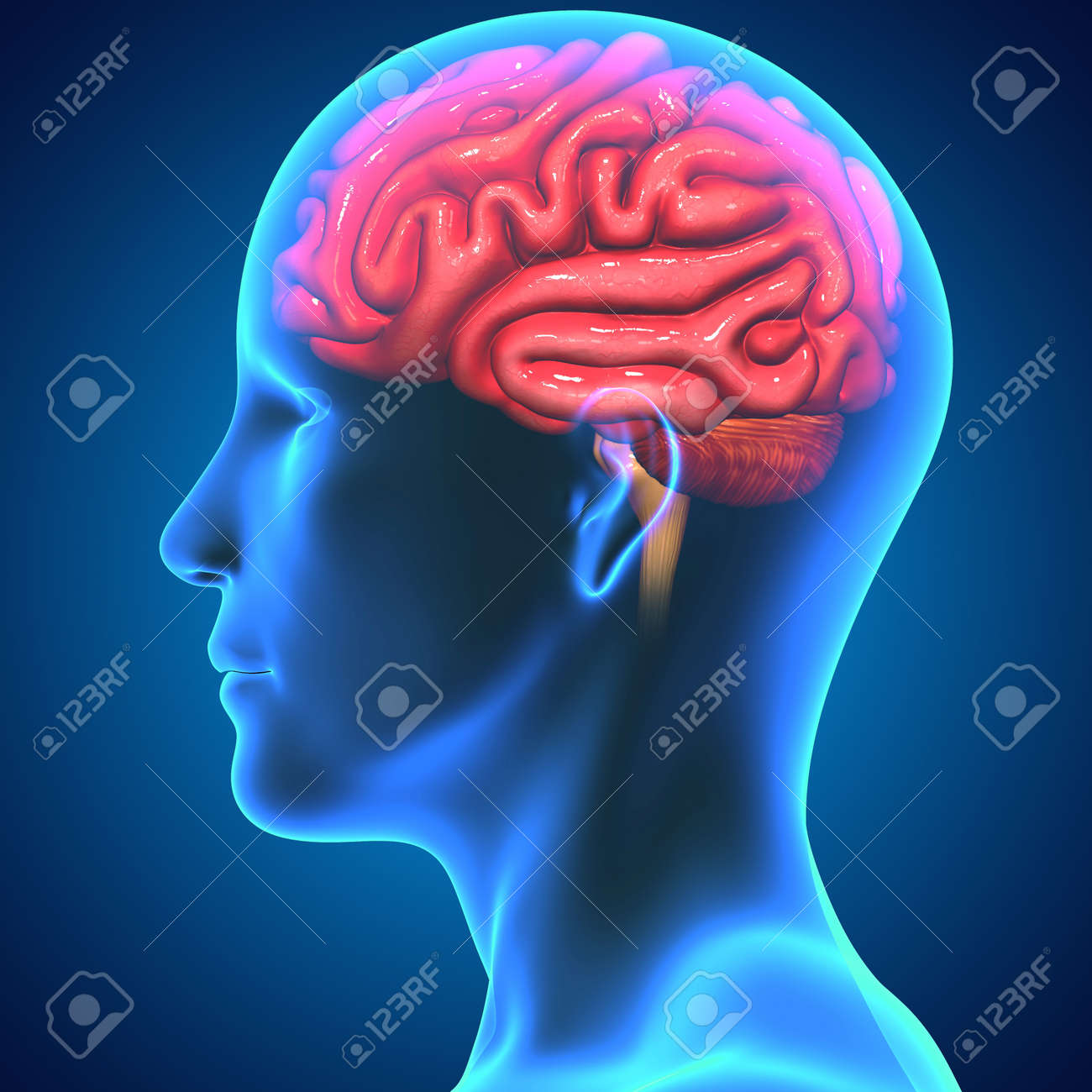 Brain Stock Photo - 33430581