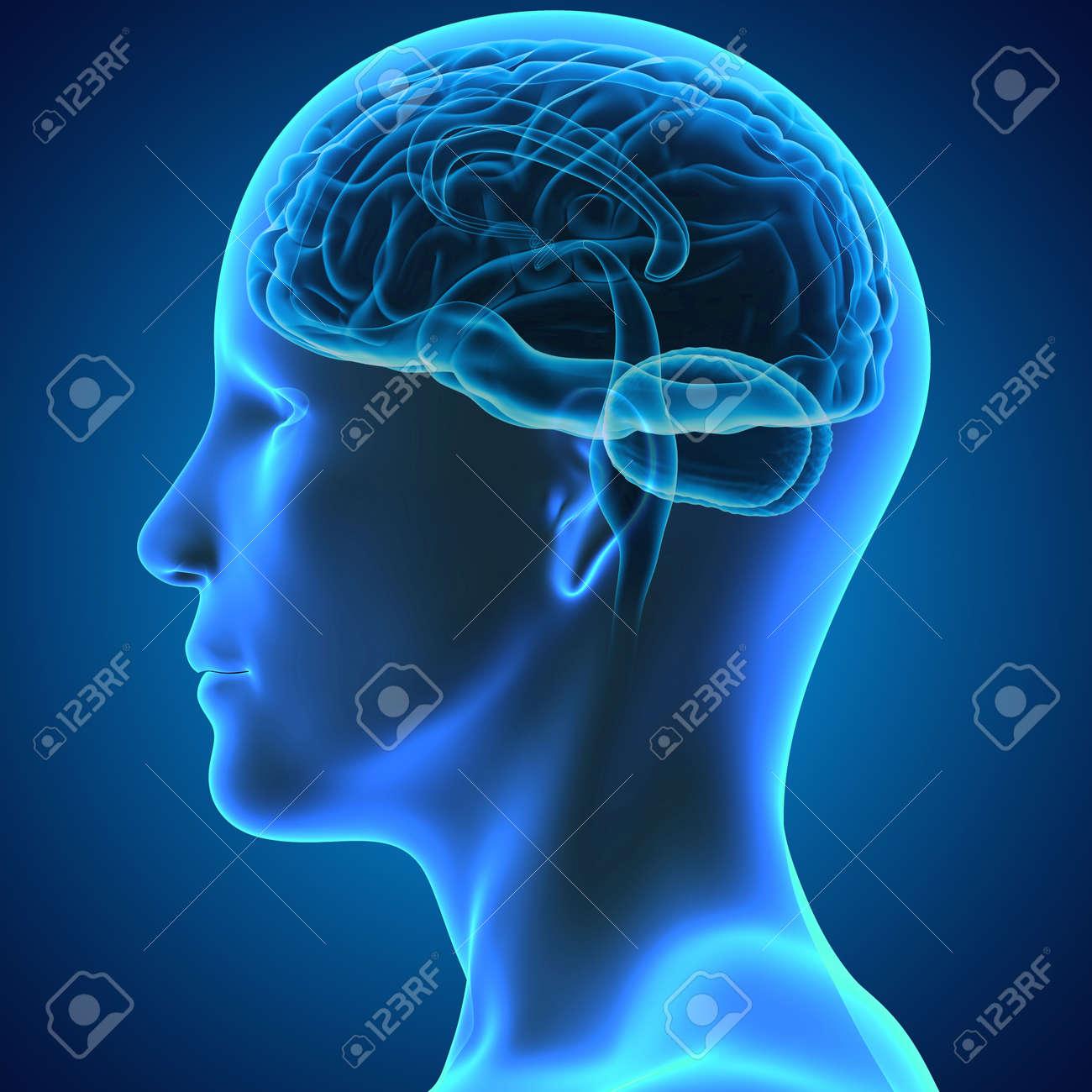 Brain Stock Photo - 33430666