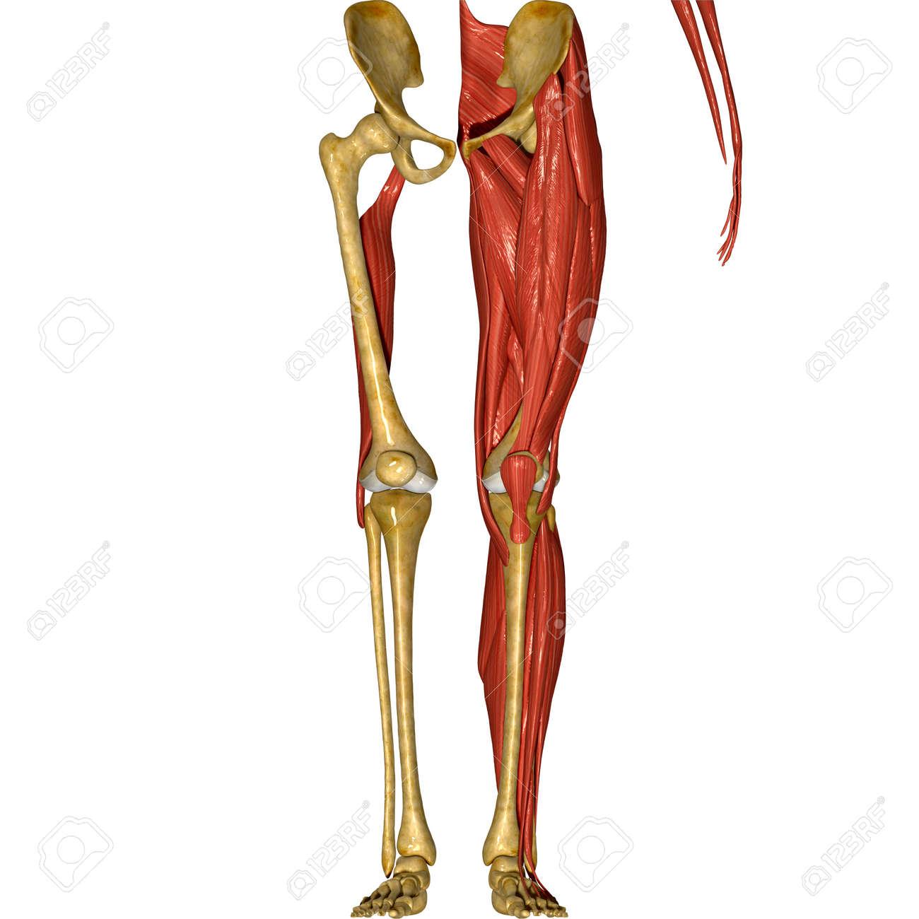 Huesos y musculos de pierna