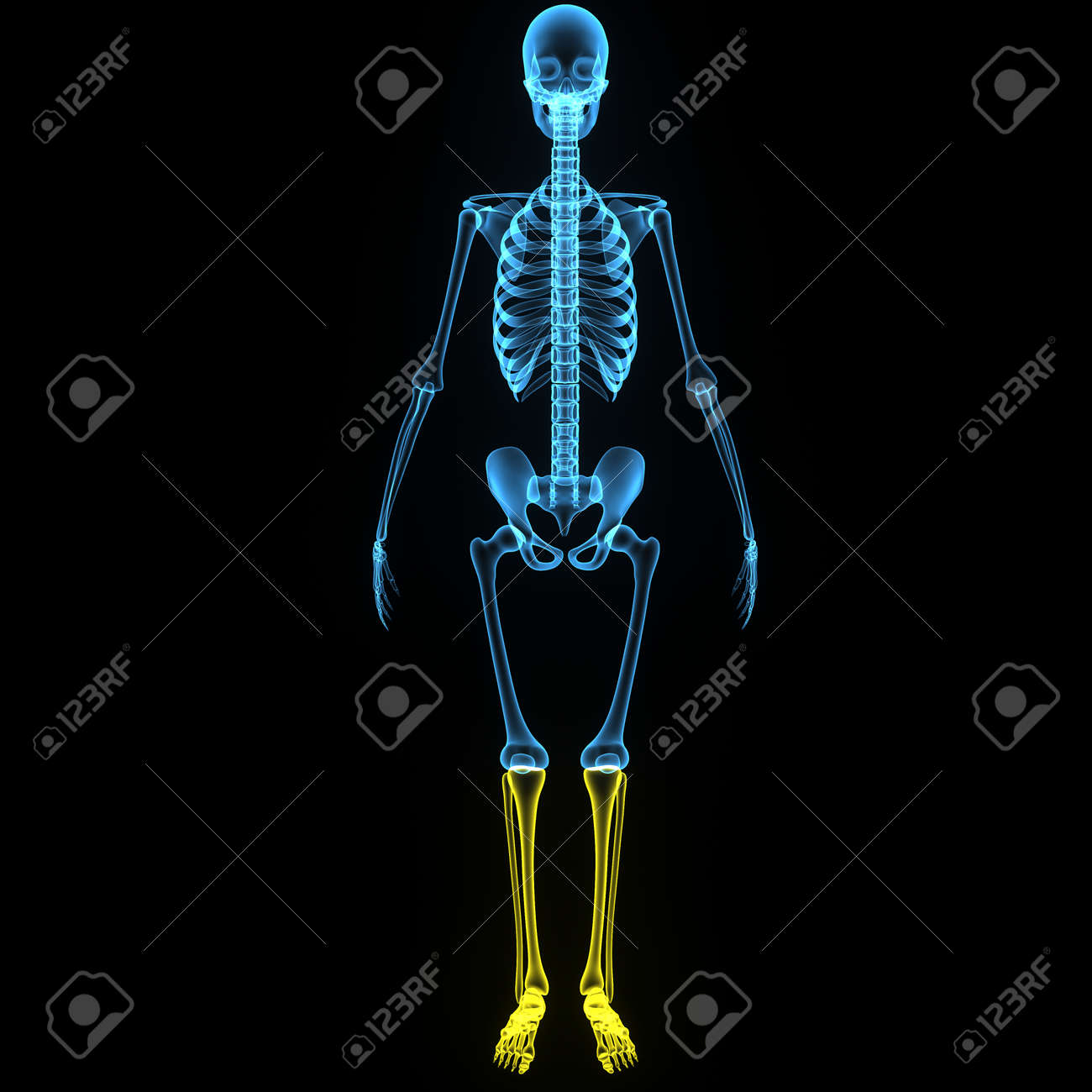 Skeleton Legs Stock Photo Picture And Royalty Free Image Image