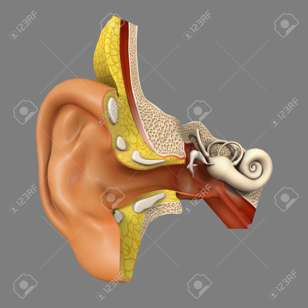 Ear Anatomy Stock Photo - 33658622