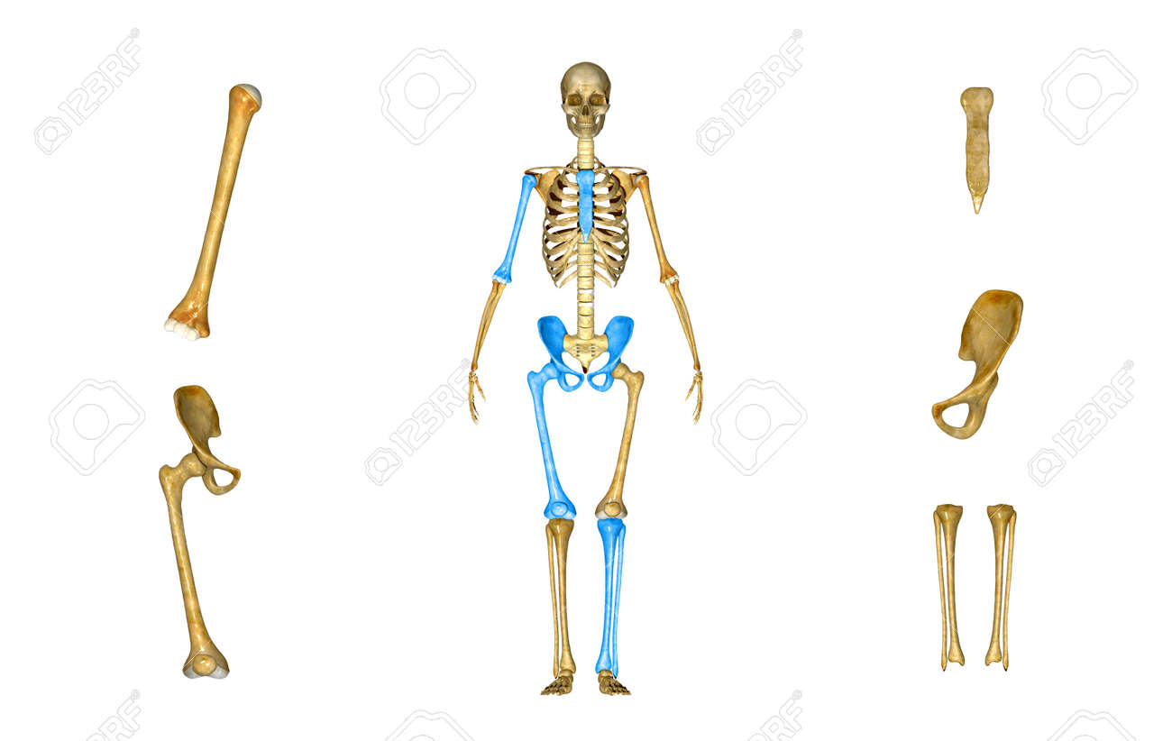 Skeleton Parts Stock Photo Picture And Royalty Free Image Image