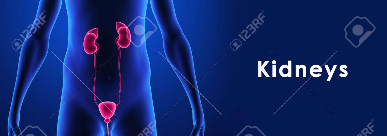 Kidneys Stock Photo - 33539596