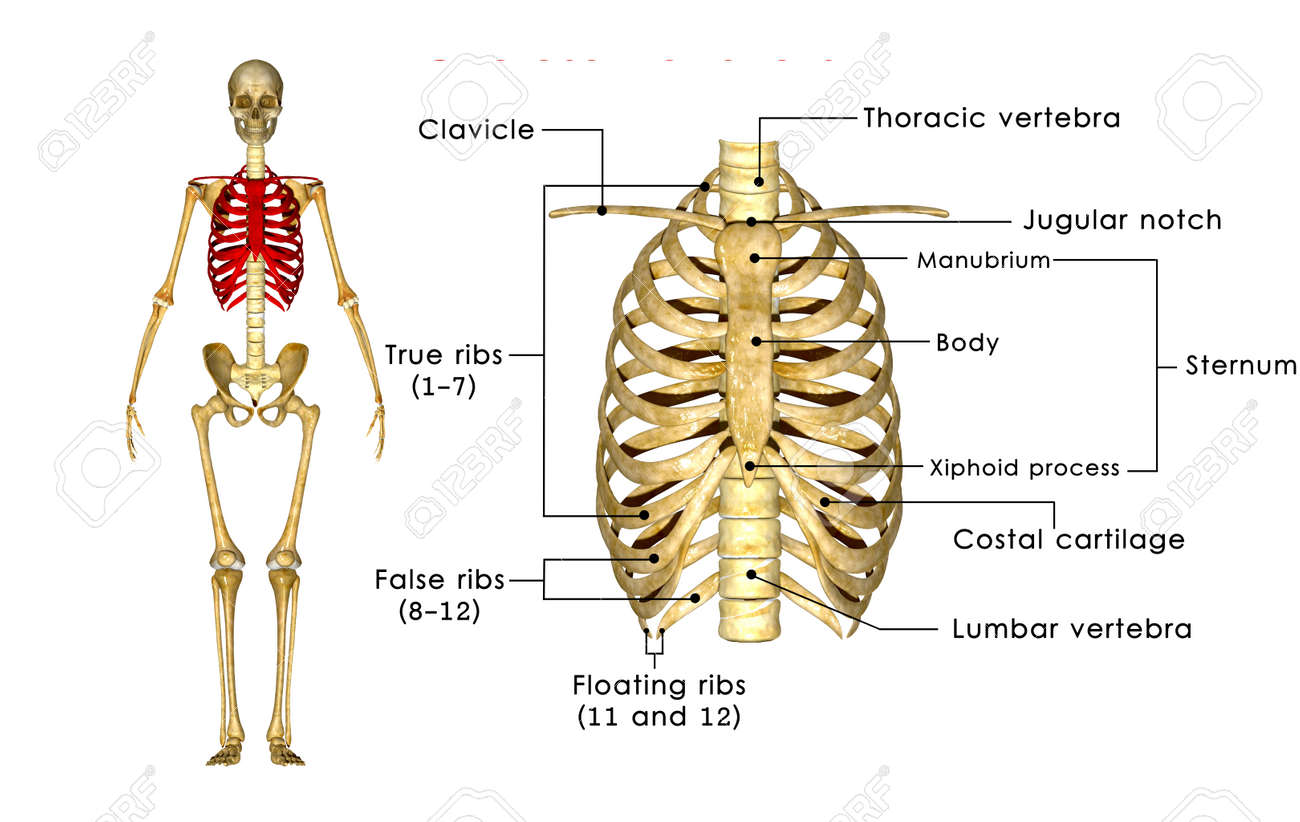 Rib Cage Stock Photo, Picture And Royalty Free Image. Image 33777839.