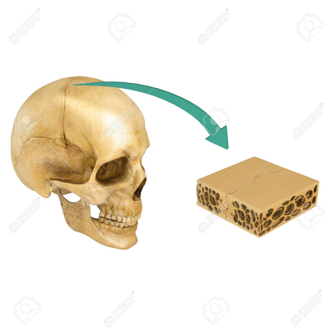 Sutura De Los Huesos Del Cráneo Fotos, Retratos, Imágenes Y ...