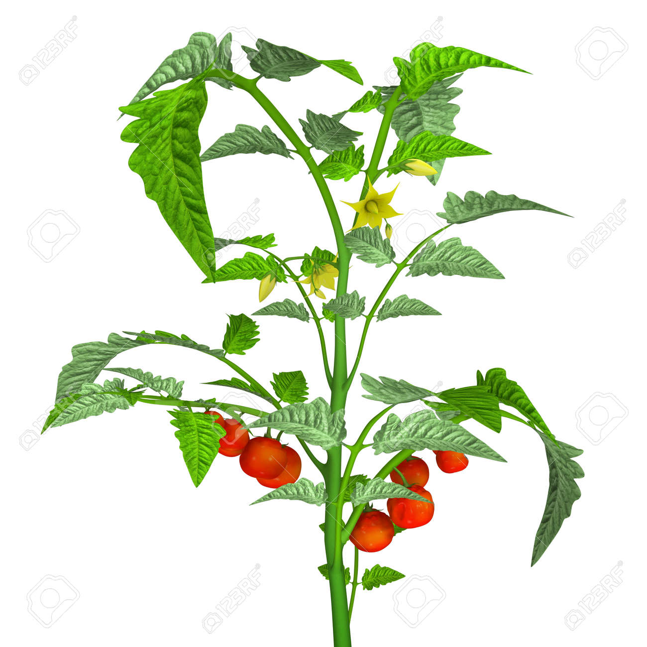 tomato plant stock photo picture and royalty free image image