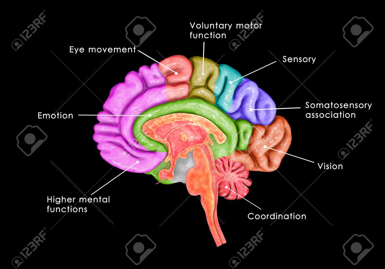 Brain parts Stock Photo - 34396971