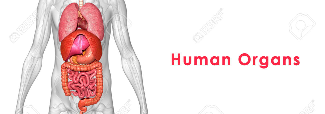 Human Organs Stock Photo Picture And Royalty Free Image Image
