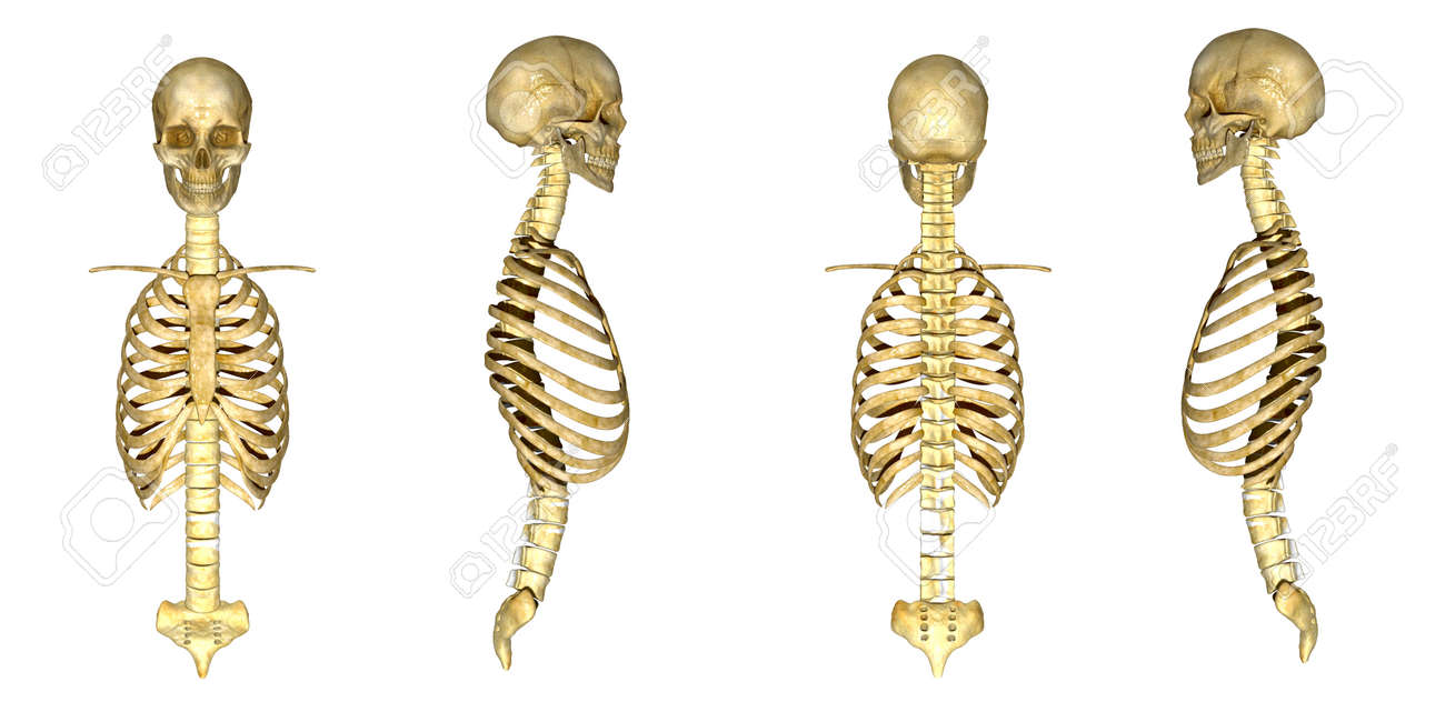 Cráneo Con La Caja Torácica Fotos, Retratos, Imágenes Y Fotografía ...