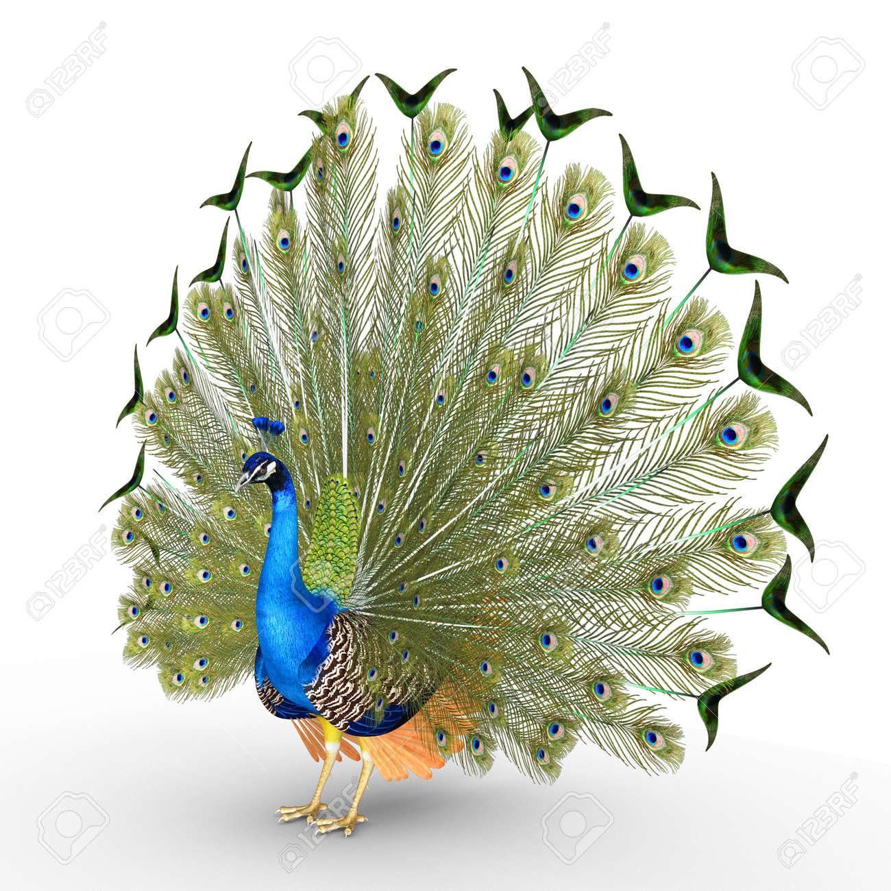 Peacock Stock Photo - 36164392
