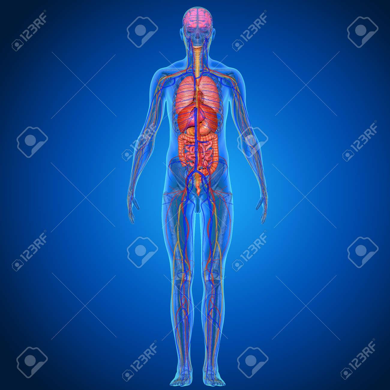 Human Anatomy Stock Photo - 36478315