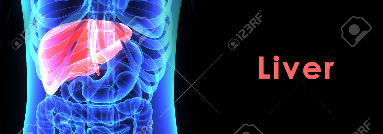 Human Liver Stock Photo - 39603089